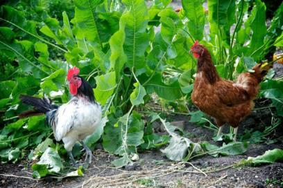 haberman garden chickens