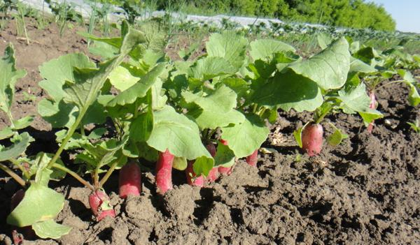 Radishes all in a row