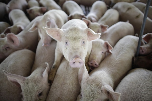 Sign FDN's petition and help stop government pork for factory pork