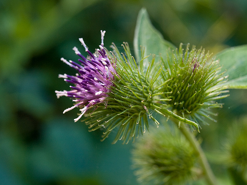 Burdock flower. Photo credit: bigcityal.