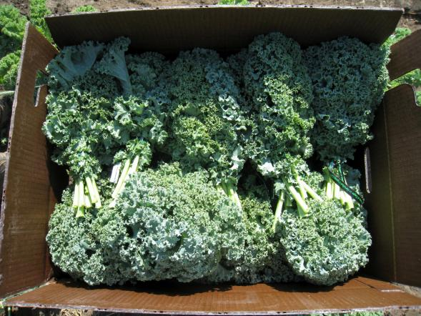 Completed case of kale