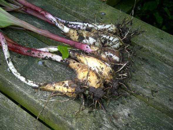 Freshly foraged ramps
