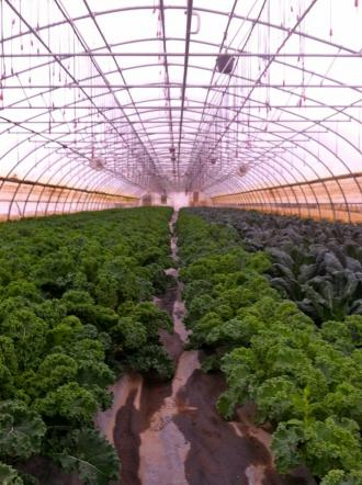 Greenhouse kale - a little more to carry us through November