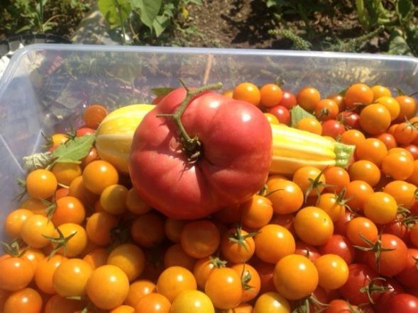 Heatherington pink heirloom tomato