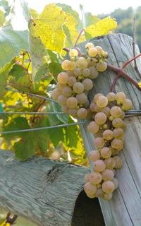 La Crescent grape
