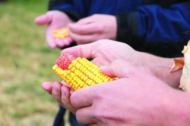 Prairie Organic Corn
