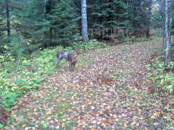 Turk, on the trail of grouse